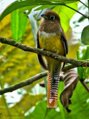 Black-throated Trogon, female, La Selva Biological Station, OTS