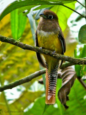 Black-throated Trogon, female, La Selva Biological Station, OTS