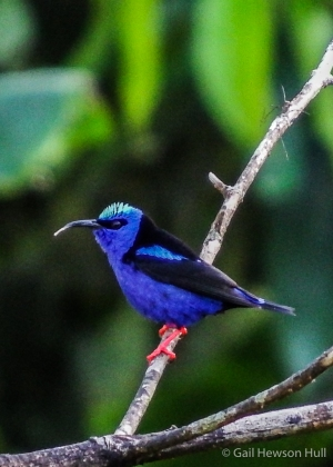 Adult male Red-legged Honeycreeper