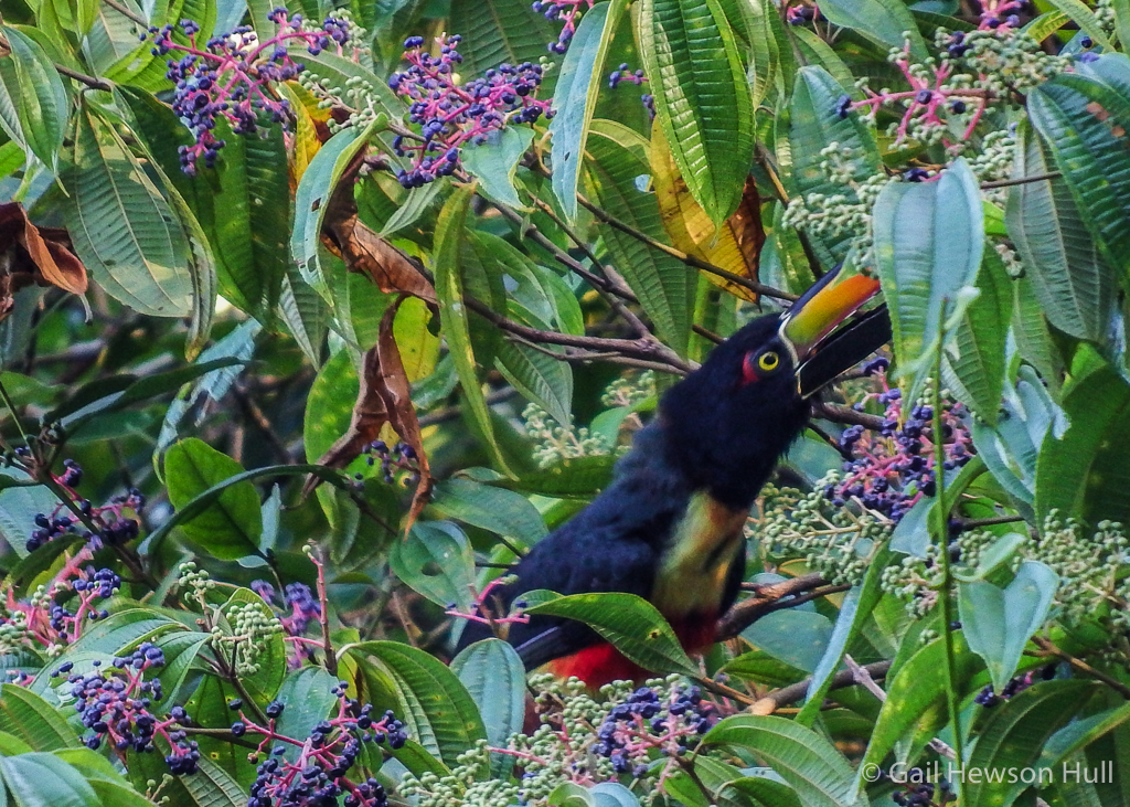 Fiery-billed Aracari gulping fruit of Miconia sp.