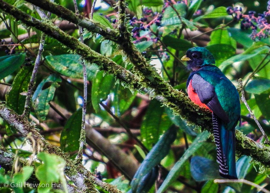 Collared Trogon, male, Finca Cantaros, San Vito, Costa Rica