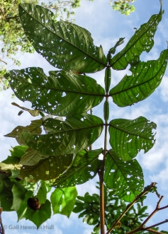 An Inga leaf with eight leaflets. There is one gland between each pair; note herbivory.