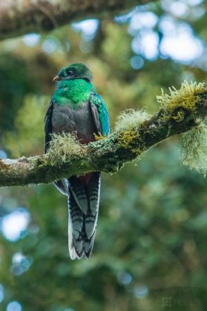 Resplendent Quetzal, female, San Gerardo de Dota, Costa Rica by Harry Hull