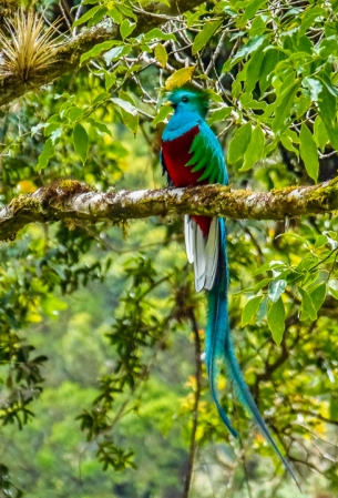 Resplendent Quetzal, male, Las Tablas, Coto Brus, Costa Rica. Photo by Henry Barrantes, Desafios Tours