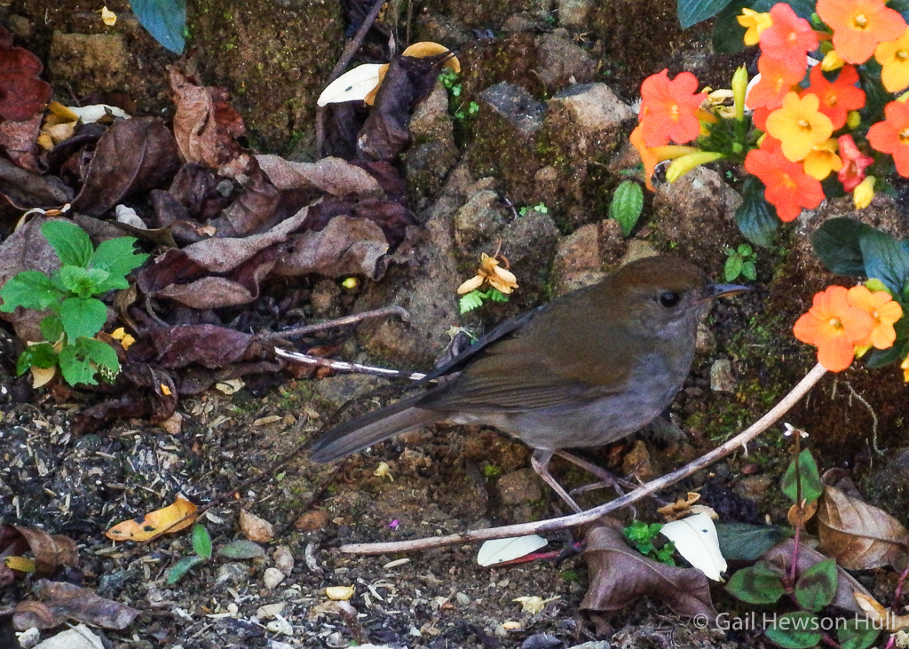 Ruddy-capped Nightingale-Thrush at San Gerardo de Dota