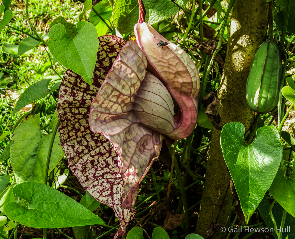 Recently opened Aristolochia g. flower with pollinating fly preparing to enter.