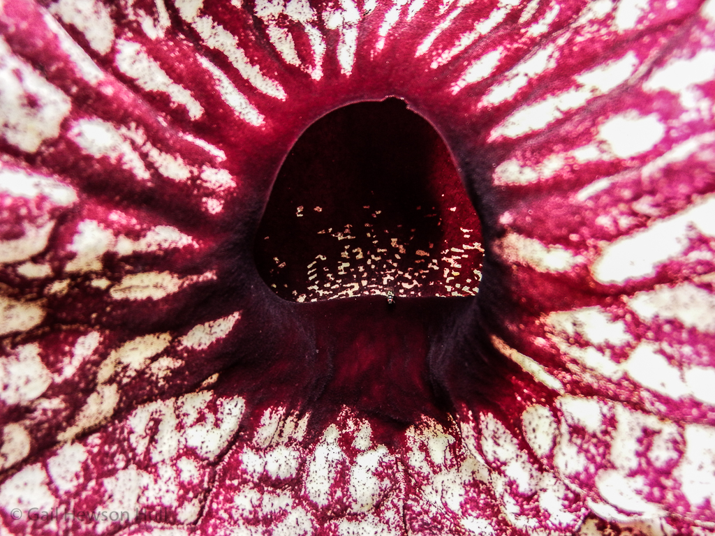 Opening to Aristolochia grandifolia. Note small pollinating fly on lower lip of the entrance.