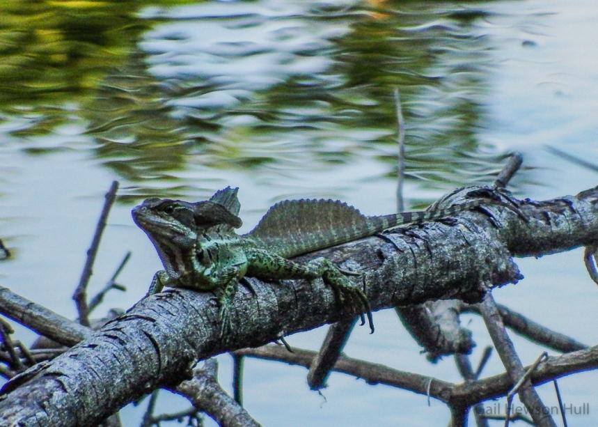 Common Basilisk, male, resting over Laguna Zoncho