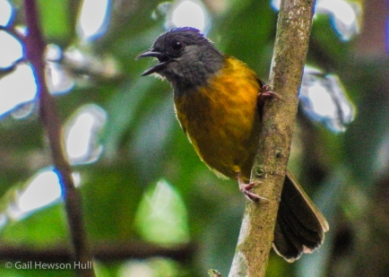 Gray-headed Tanager watching for insects escaping army-ants