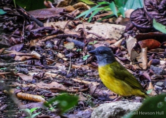 Gray-headed Tanager on forest floor following ants