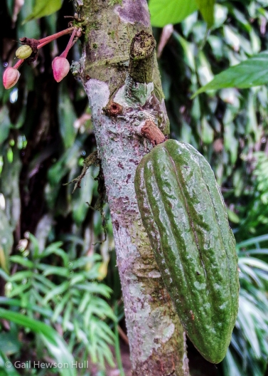 Theobroma cacao, chocolate pod growing on trunk a few feet from the ground.