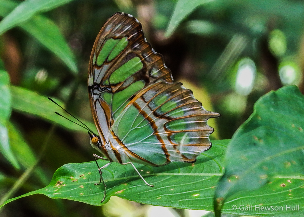 Siproeta stelenes biplagiata, known as the Malachite Butterfly, Finca Cantaros