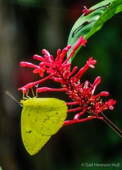 Sulphur Butterfly, Phoebis philea, Finca Cantaros