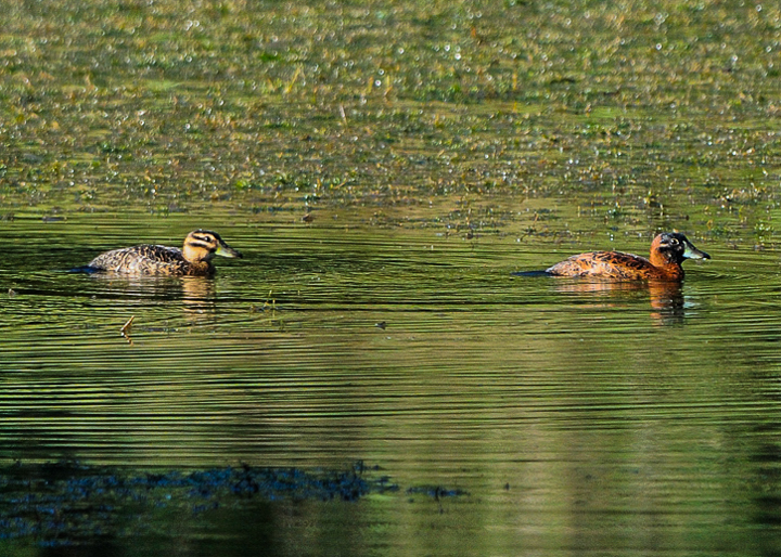 Female Masked Duck, left; male Masked Duck right on Laguna Zoncho. Photo: Marcho Tulio Saborio