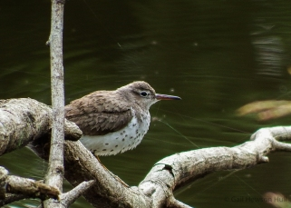Spotted Sandpiper may appear at any time of year at the lake's edge.