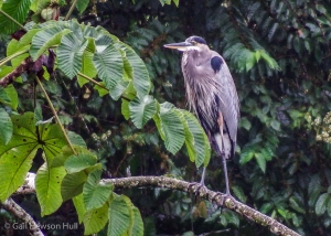 Great Blue Heron perches above Laguna Zoncho on a Cecropia branch.