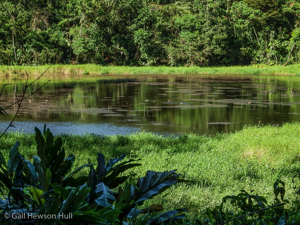Laguna Zoncho, a wetland that attracts aquatic birds primarily in Costa Rica's dry season, December to March