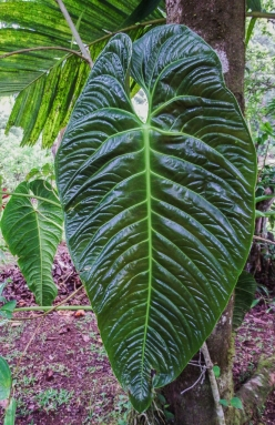Anthurium formosum leaf