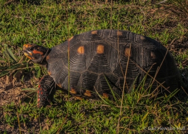 Red-footed Tortoises may aestivate (go into a dormant or torpid condition) in dry weather for several months. The scales on their shells are called skutes.