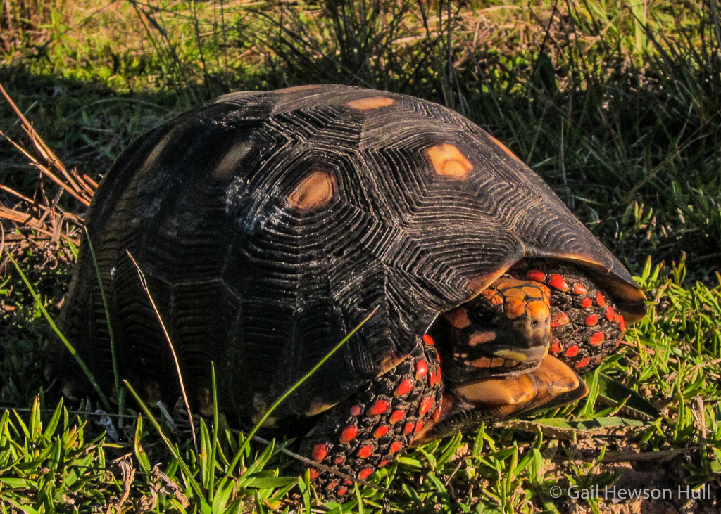 Red-footed Tortoise (Chelonoidis carbonaria in a road in the Pantanal region of Brazil. Vulnerable to extinction due to over-collection for food and the pet trade. Main threats are jaguars and humans. Can reach 16 inches. Tortoises have completely terrestrial habits.