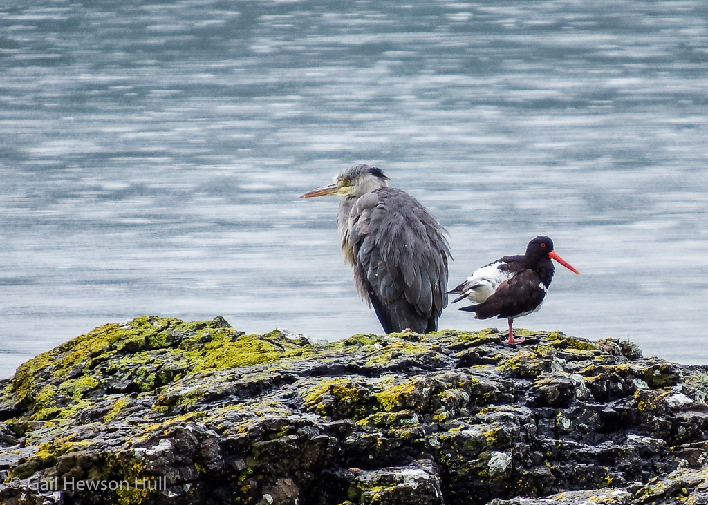 Grey Heron and Oystercatcher, Mull