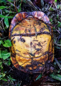 The plastron (underside) of the White-lipped Mud Turtle has a hinge, and the animal can completely withdraw into its shell, sealing the opening by closing the plastron against the carapace.