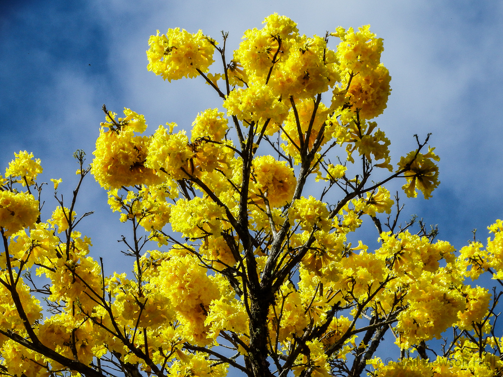Crown of Tabebuia chrysantha (Corteza) blooming December 16, 2015 in Linda Vista de San Vito