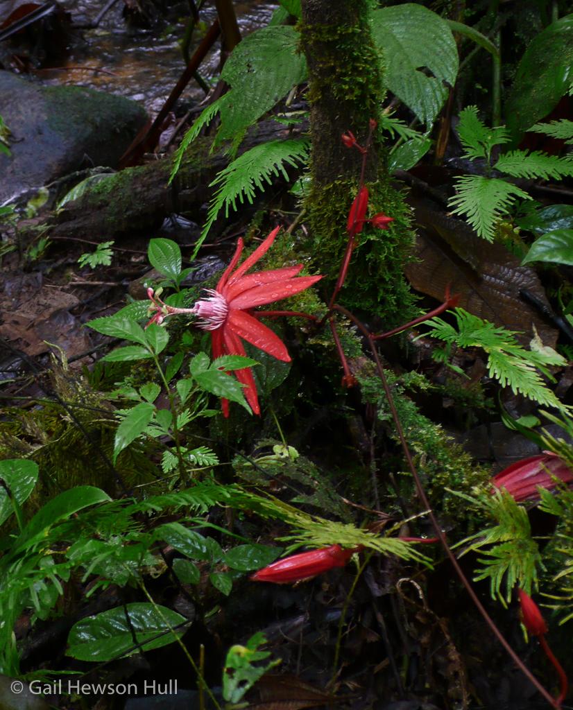 Native passionflower, Passiflora vitifolia, Osa Peninsula, Costa Rica