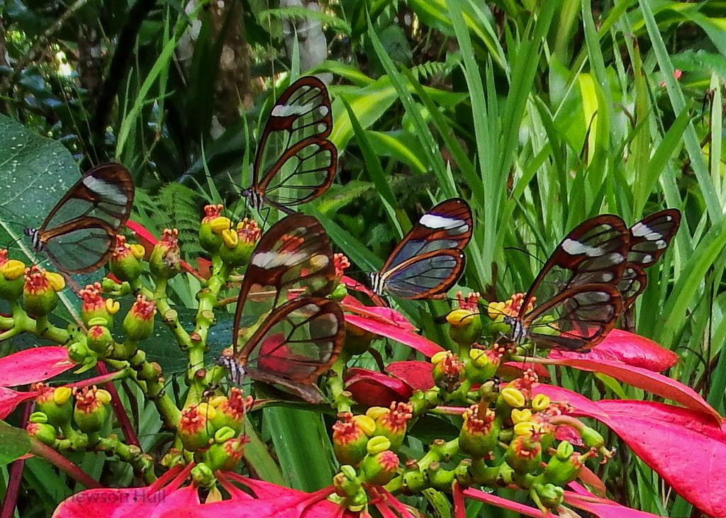 Clearwing Butterfly, Greta oto, on wild Poinsettia, Euphorbia pulcherrima, Sabalito de Coto Brus