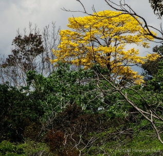 Corteza tree in bloom on Osa Peninsula. This lowland Tabebuia sp. flowered in April, 2015