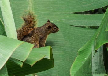 Red-Tailed Squirrel, Finca Cantaros