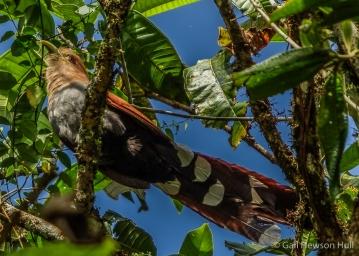 Squirrel Cuckoo, Finca Cantaros