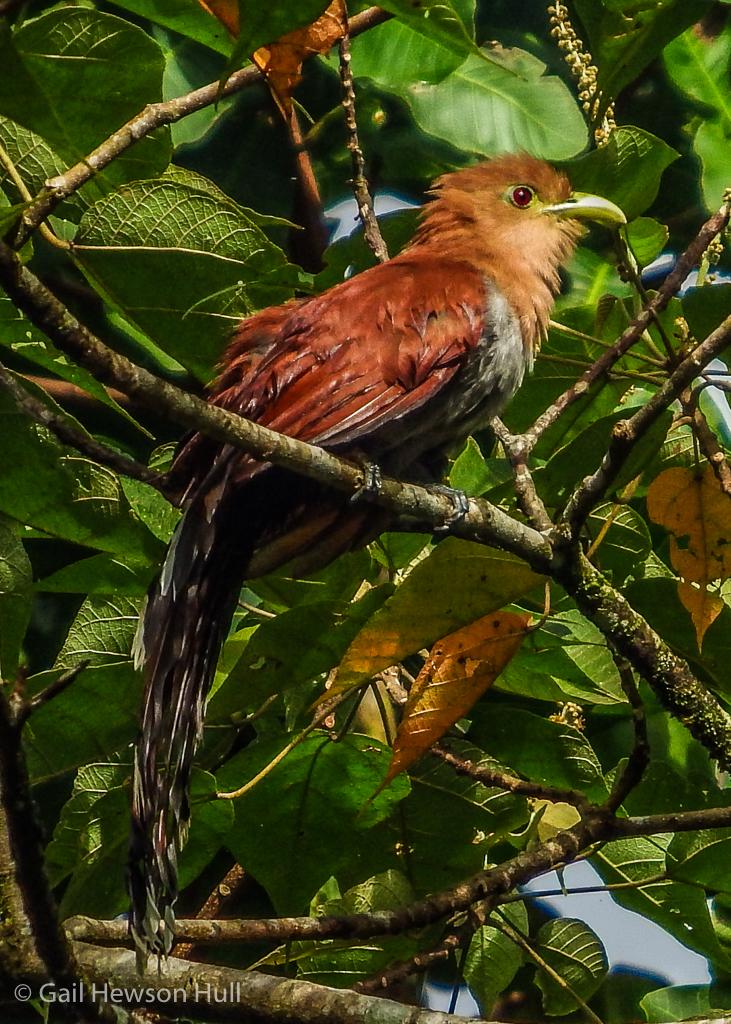 Squirrel Cuckoo, Finca Cantaros, Linda Vista de San Vito