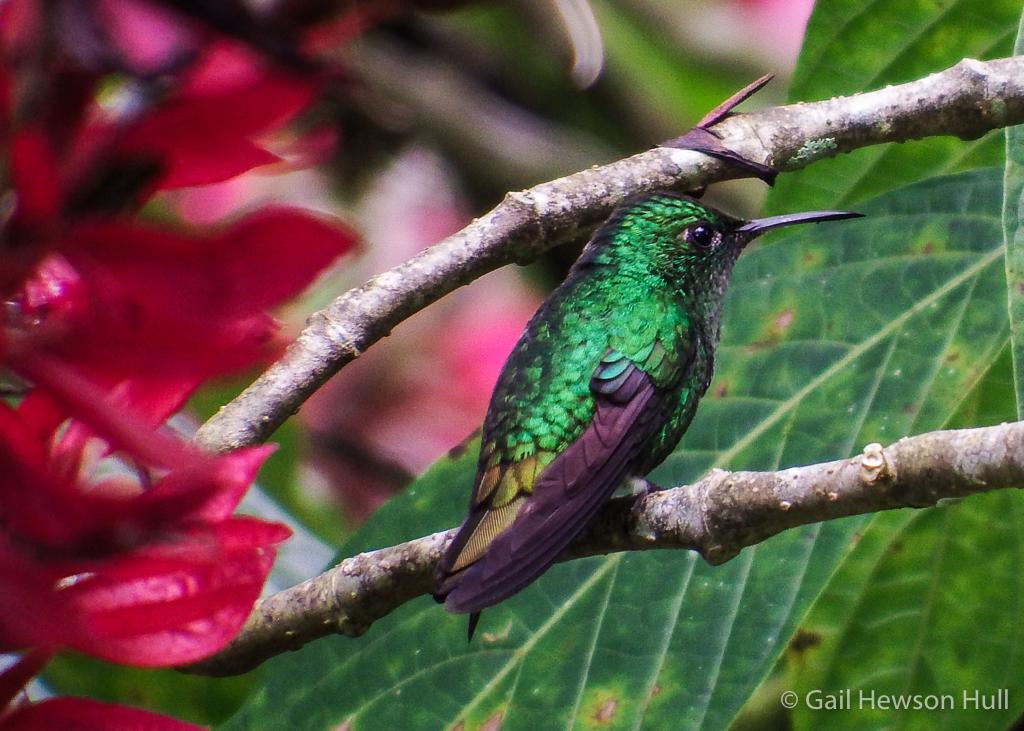Rufous-tailed Hummingbird Hylocharis eliciae, Finca Sofia, Los Angeles de San Vito, Coto Brus, Costa Rica
