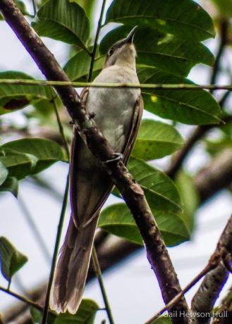 Black-billed Cuckoo, Cuenca de Oro, San Vito de Coto Brus