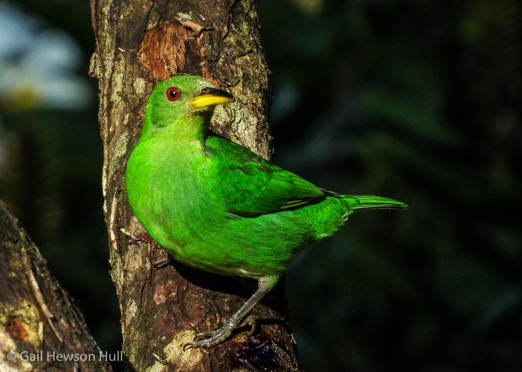 Green Honeycreeper, female, Finca Cantaros, Linda Vista de San Vito