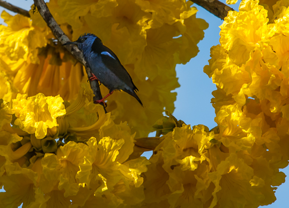 Red-legged Honeycreeper on Tabebuia crysantha, Linda Vista de San Vito, by Harry Hull III