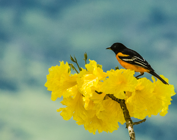 Baltimore Oriole on Tabebuia crysantha, Linda Vista de San Vito, by Harry Hull III