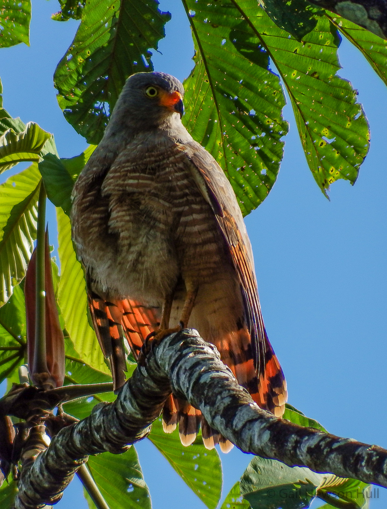 Roadside Hawk. Photo from 2014, Finca Cantaros