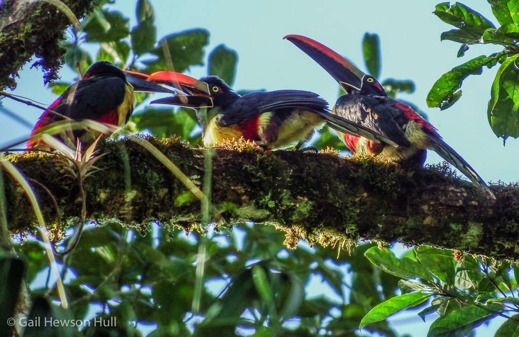 Fiery-billed Aracari at play near the Eucalyptus tree.