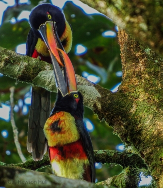 Fiery-billed Aracari feeding its mate.