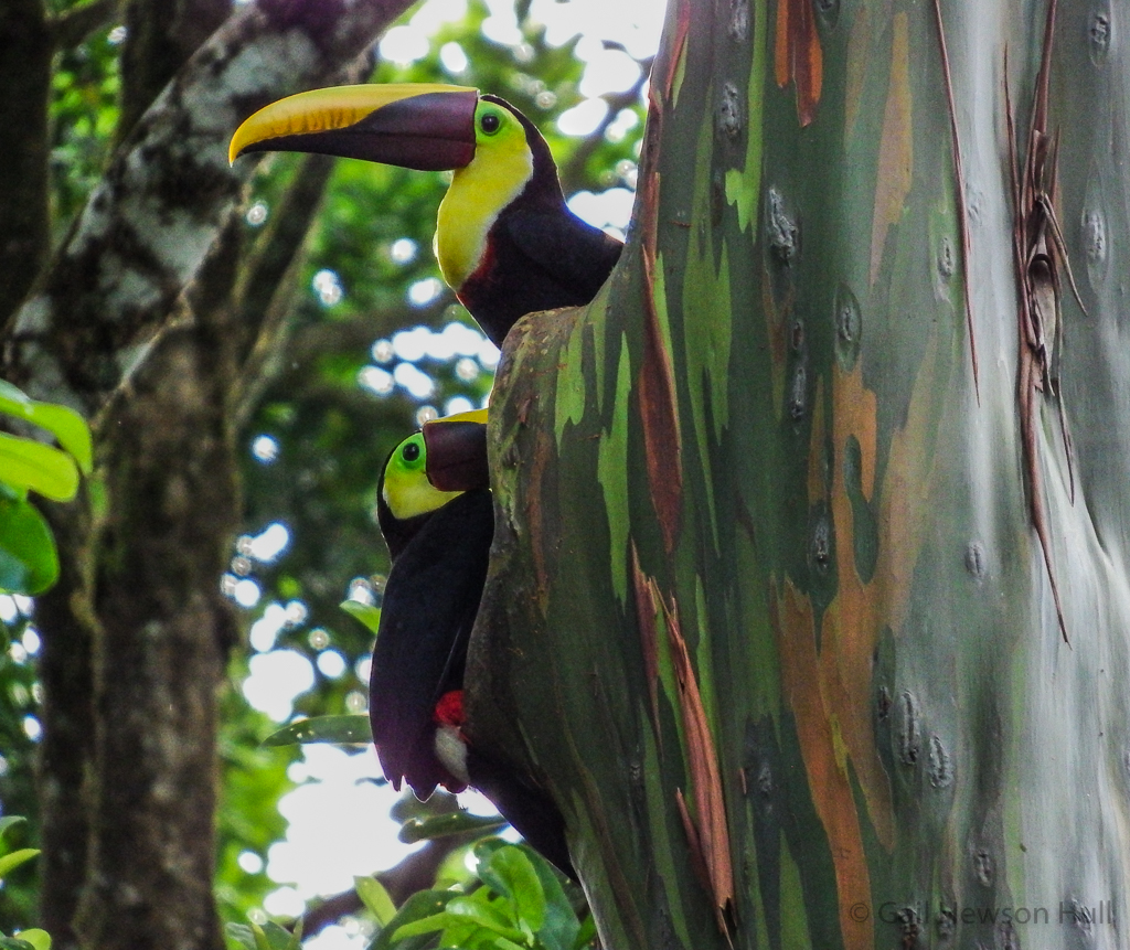 Yellow-collared Toucans--one looking out for intruders while the other excavates the cavity.