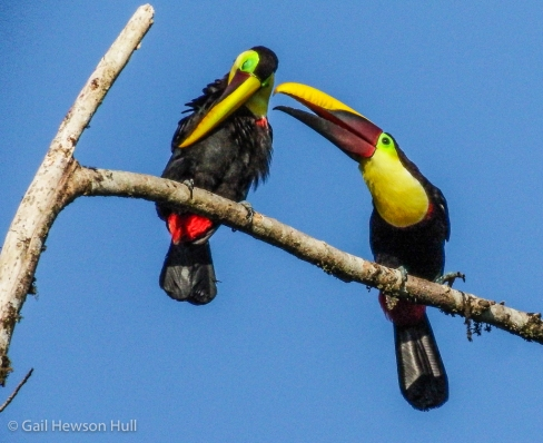 Mating pair of Yellow-collared Toucans.