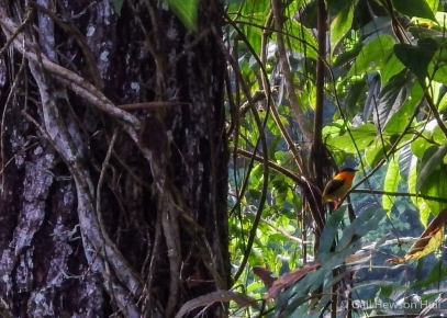 Previous efforts to photograph the Orange-collared Manakin male met with blurry results