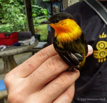 During bird banding days at Finca Cantaros this male Manakin was captured and released in February, 2016
