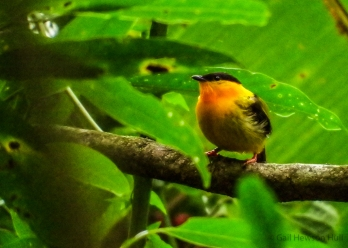 "Orange-collared Manakin near the prepared ""arena"""
