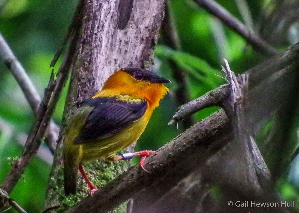 Orange-collared Manakin male in woods at Finca Cantaros