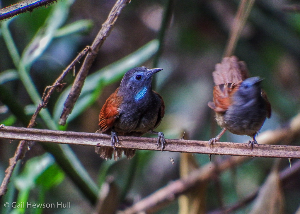 Chestnut-winged Babbler observes vigorous activity of potential mate