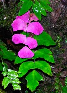 "Maidenhair fern, or ""culantrillo"" in Spanish. (Adiantum macrophyllum) Thanks to Robbin Moran, Ph.D, NY Botanical Garden for the ID."