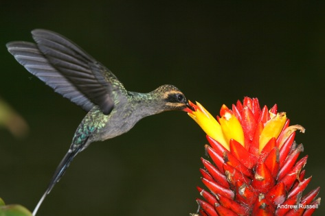 Green Hermit, female, visiting a Costus flower.
